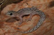 Marbled Gecko,  Christinus marmoratus