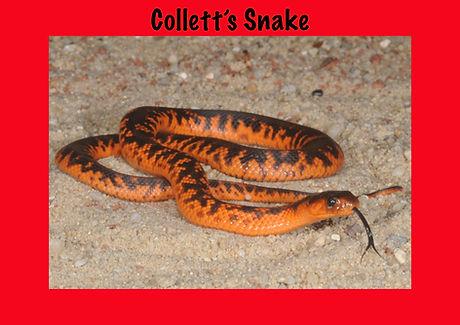 Colett's Snake, Pseudechis colletti, Nature 4 You, elapid, venomous snake, reptile