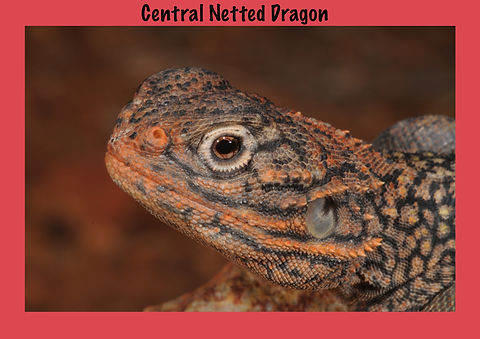 Central Netted Dragon, Nature 4 You, dragon, lizard