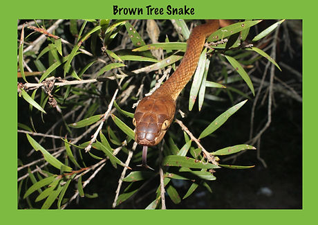 Brown Tree Snake, Boiga irregularis, Nature 4 You, coloubrid, snake, reptile
