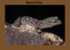 Bynoes Gecko, Nature 4 You, lizard, gecko, reptile