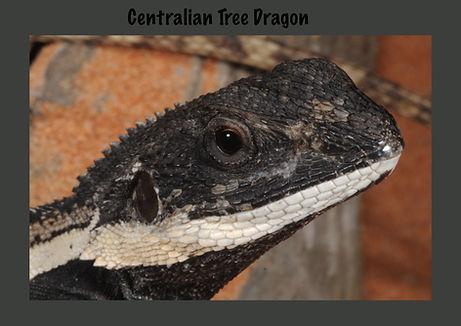 Centralian Tree Dragon, Nature 4 You, Australian dragon, lizard