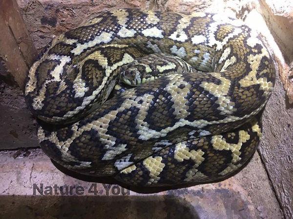 Coastal Carpet Python, Morelia spilota mcdowelli, Australian reptile, reptile, cold blooded, Australian bush, Australian python, python, snake, Logan snake catcher, Nature for You
