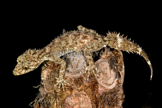 Peppered-belly Leaftailed Gecko