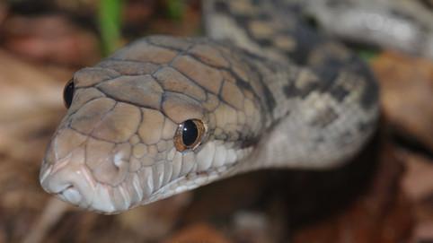 Scrub Python,  Simalia amethstina