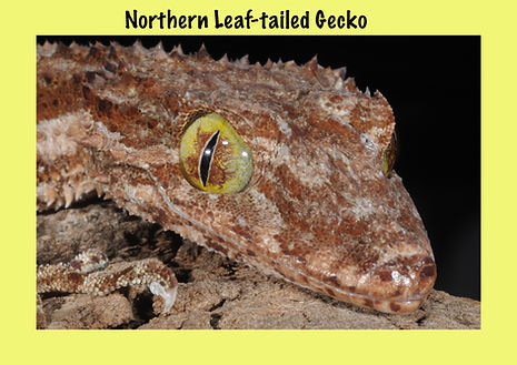 Northern Leaf-tailed Gecko, Nature 4 You, lizard, gecko, reptile