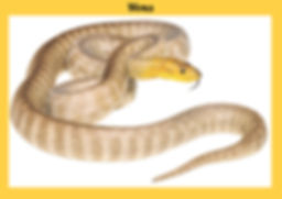 Woma, Aspidites ramsayi, Nature 4 You, snake, python