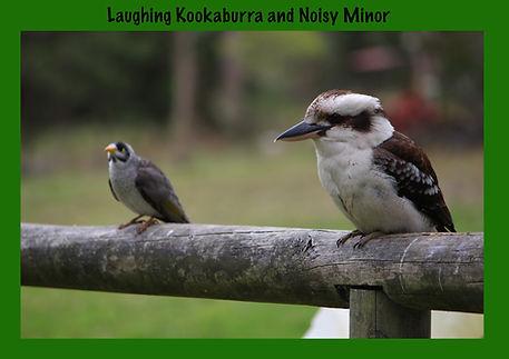 Nature 4 You, Kookabura, Noisy Minor, birds