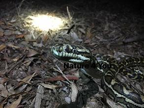Coastal Carpet Python, Morelia spilota mcdowelli, python, Australian python, non-venomous Australian snake, Australian python, Logan Snake catcher, reptile, Nature For You