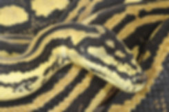 Jungle python, Morelia spilota, carpet python, Nature 4 You, snake