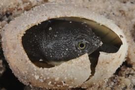 Painted Short-necked Turtle, Emydura macquarii binjing
