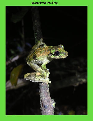 Green-eyed Tree Frog, Nature 4 You, Australian frog