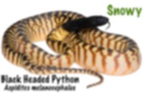 Black Headed Python, Aspidites melanocephalus, black, python, snake, Australian reptile, Nature For You