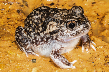Sudell's Frog