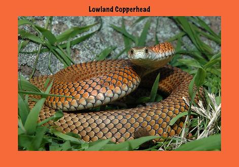 Lowland Copperhead, Austrelaps superubus, Nature 4 You, venomous snake, elapid, reptile