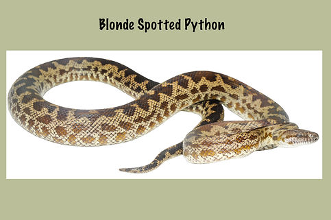 Blonde Spotted Python, Nature 4 You, python, snake, reptile