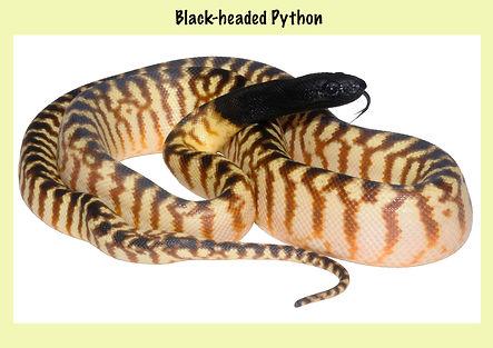 Black-heaed Python, Aspidites melanocephalus, v