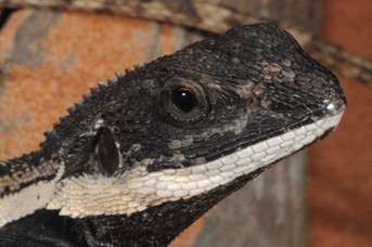 Amphibolurus sp
