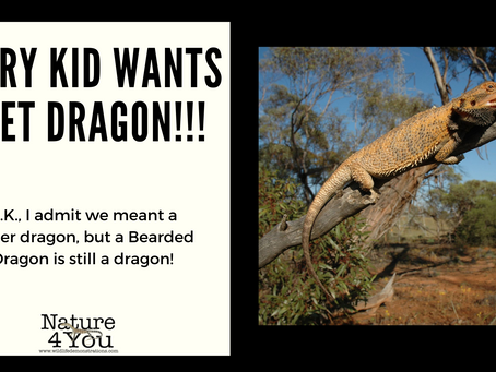 Bearded Dragons, the quiet achiever