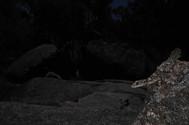 Wyberba Leaf-tailed Gecko, Saltuarius wyberba