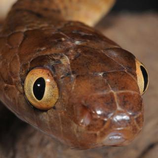 Brown Tree Snake,  Boiga irregularis