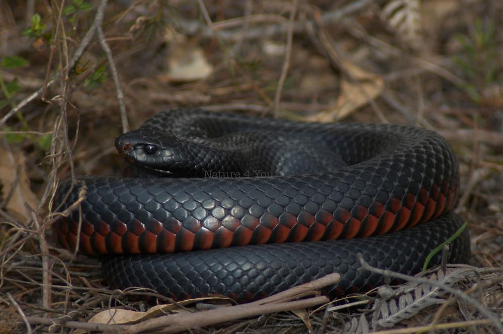 Red-bellied Black Snake, Pseudechis porphyriacus in situ