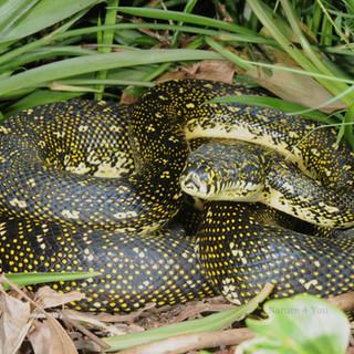 Carpet Python (Diamond python) Morelia spilota spilota
