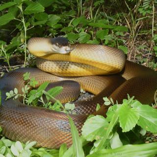Water Python,  Liasis fuscus