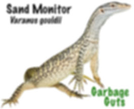 Sand Monitor, Varanus gouldii, garbage guts, goanna, monitor, lizard, reptile, cold blooded, pet, Nature Fo You