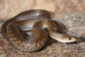 Keelback, Tropidonophis mairii
