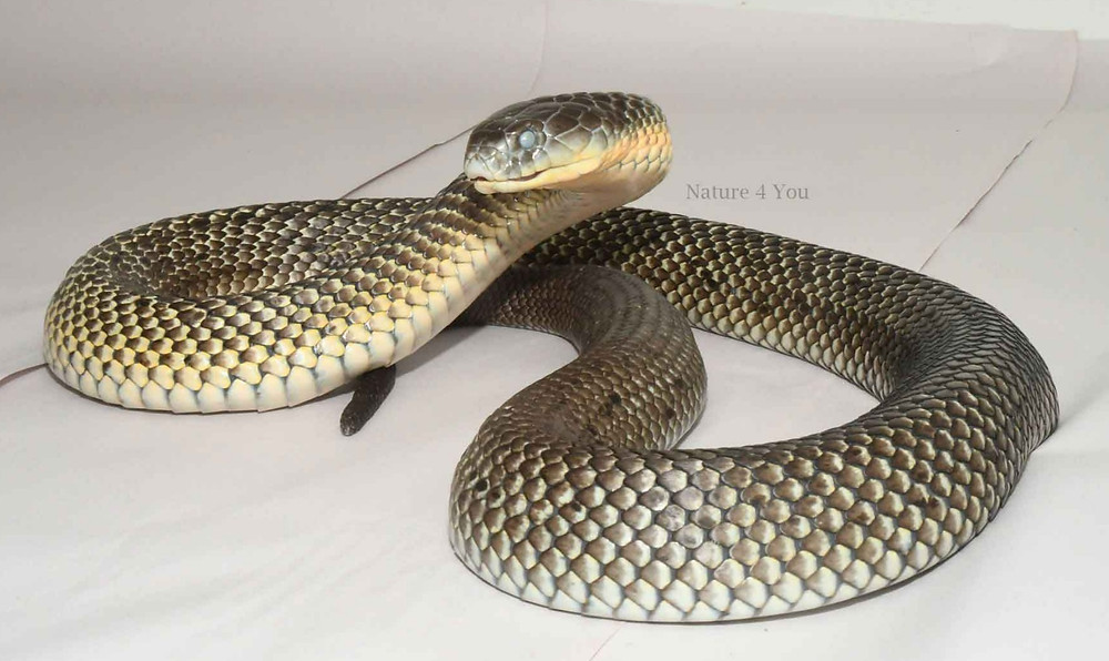 Common Tiger Snake, Notechis scutatus scutatus after sloughing