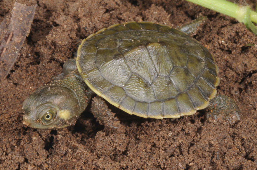 We have had the pleasure of owning several species of Australian turtles over the years.