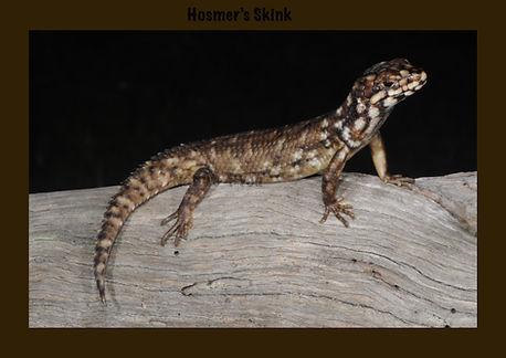 Hosmer's Skink, Egernia hosmeri, Nature 4 You, skink, lizard, reptile