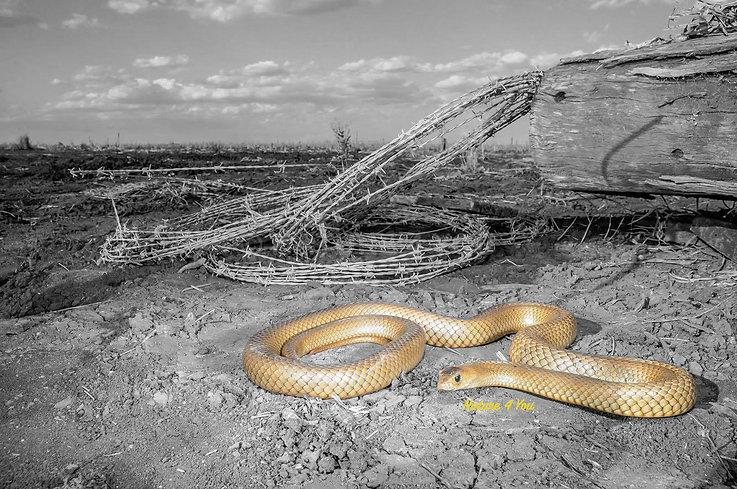 Eastern Brown Snake, Pseudonaja textilis, venomous snake, brown snake, Loga Snake Catcher, Nature For You