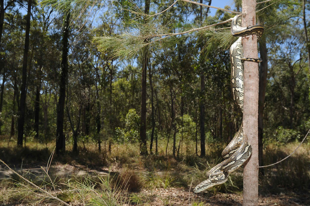 Wild carpet python,  Morelia spilota spilota