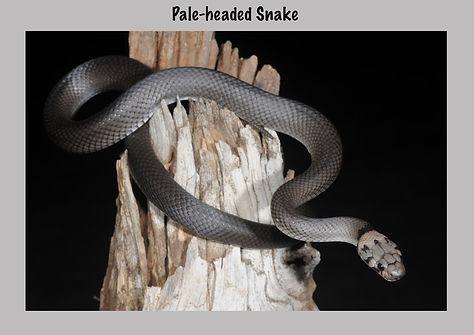 Pale-headed Snake, Hoplocephalus bitorquatus, Nature 4 You, elapid, venomous snake, reptile