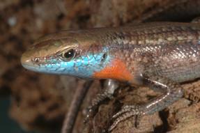 Blue-throated Rainbow Skink, Carlia rhomboidalis