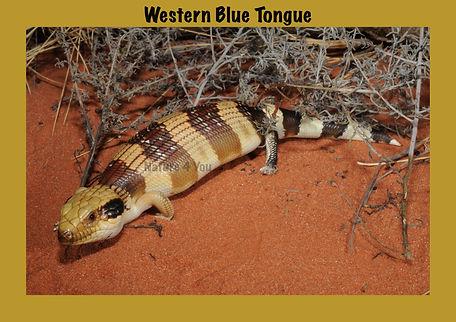 Western Blue-tongued lizard, Nature 4 You, bluey, lizard, skink, reptile