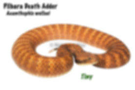 Pilbara Death Adder, Acanthophi wellsei, death adder, snake, reptile, elapid, Australian snake, death adder, venomous, Nature For You