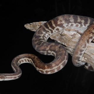 Stimson's Python,  Antaresia stimsoni orientalis