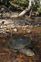 White-throated Snapping Turtle, Elseya albagula