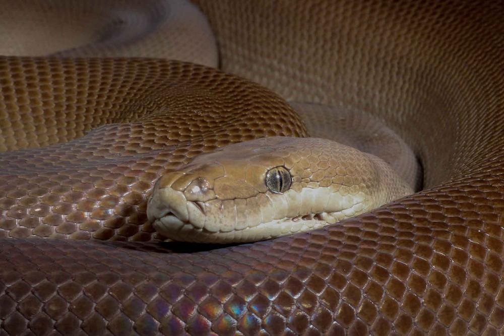 Olive python, Liasis olivaceus olivaceus in her enclosure