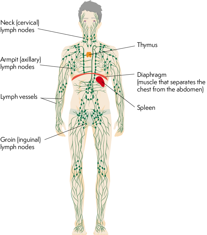 lymphatic system of a human