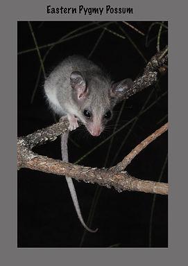 Eastern Pygmy Possum, Nature 4 You, mammal