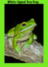 White-lipped Tree Frog, Nature 4 You, Australian frog
