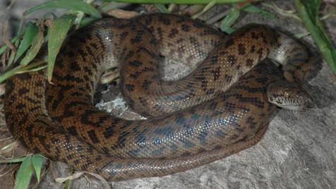 Spotted Python,  Antaresia maculosa