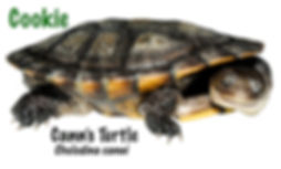 Cann's Turtle, Chelodina canni, turtle, freshwater, reptile, Australian, cold blooded, pet, Nature For You