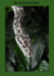 Carpet Python, Morelia spilota, Darwin Carpet Python, Top End Python, Nature 4 You, snake, python, reptile