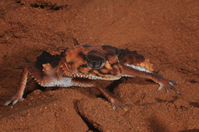 Banded Knob-tailed Gecko, Nephrurus wheeleri wheeleri