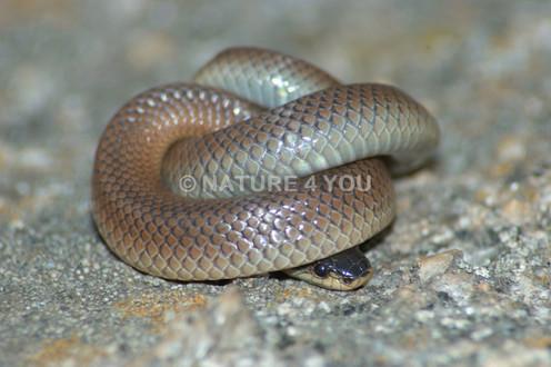 Dwyer's Snake